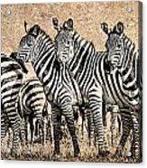 Zebra Herd Rock Texture Blend Acrylic Print by Mike Gaudaur