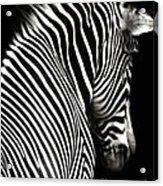 Zebra On Black Acrylic Print by Elle Arden Walby