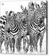 Zebra Quintet Acrylic Print by Mike Gaudaur
