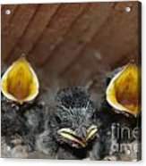 Raising Baby Birds  Www.pictat.ro Acrylic Print by Preda Bianca Angelica
