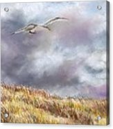 Seagull Flying Over Dunes Acrylic Print by Jack Skinner
