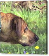 Sighthound At Work Acrylic Print by Patty Gross