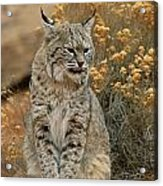 A Bobcat Acrylic Print by Norbert Rosing