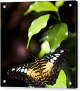 A Butterfly Perches On A Leaf Acrylic Print by Taylor S. Kennedy