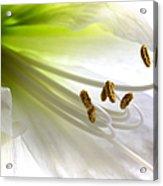 Amaryllis Acrylic Print by Jane Rix