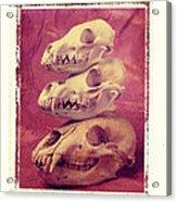 Animal Skulls Acrylic Print by Garry Gay