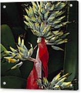 Atlantic Forest Bromeliad Brazil Acrylic Print by Mark Moffett