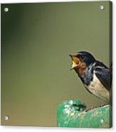 Barn Swallow Hirundo Rustica Fledgling Acrylic Print by Cyril Ruoso