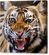 Bengal Tiger (panthera Tigris) Acrylic Print by Louise Murray