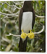 Brown Booby, Sula Leucogaster Acrylic Print by Tim Laman