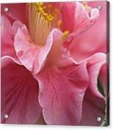 Camellia Japonica Acrylic Print by Maria Mosolova