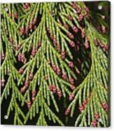 Chamecyparis Lawsoniana Acrylic Print by Adrian Bicker