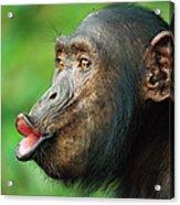 Chimpanzee Pan Troglodytes Adult Female Acrylic Print by Cyril Ruoso