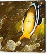 Clarks Anemonefish Among An Anemones Acrylic Print by Tim Laman