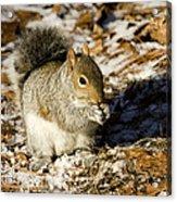 Eastern Gray Squirrel Sciurus Acrylic Print by Tim Laman
