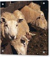 Ewes Feeding Acrylic Print by David Aubrey
