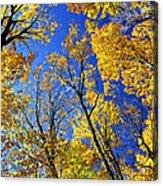 Fall Maple Trees Acrylic Print by Elena Elisseeva