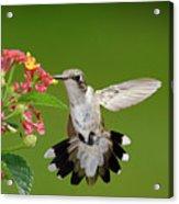 Female Hummingbird Acrylic Print by DansPhotoArt on flickr
