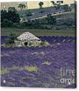 Field Of Lavender. Sault Acrylic Print by Bernard Jaubert