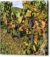 Grapes Growing On Vine Acrylic Print by Bernard Jaubert