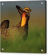Greater Prairie Chicken Male Acrylic Print by Tim Fitzharris