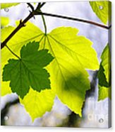 Green Leaves Acrylic Print by Carlos Caetano