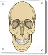 Illustration Of Anterior Skull Acrylic Print by Science Source