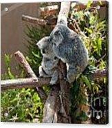 Koala Acrylic Print by Carol Ailles