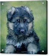 Long Coated Puppy Acrylic Print by Sandy Keeton