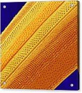 Marine Diatom Alga, Sem Acrylic Print by Susumu Nishinaga