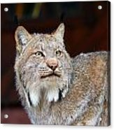 North American Lynx Acrylic Print by Paul Fell
