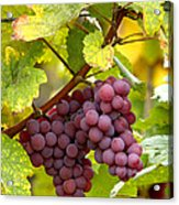 Pinot Noir Grapes Acrylic Print by Jeremy Walker
