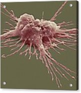 Pluripotent Stem Cell, Sem Acrylic Print by Steve Gschmeissner