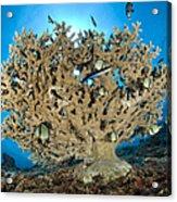 Reticulate Humbugs Gather Under Stone Acrylic Print by Steve Jones