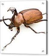 Rhinoceros Beetle Acrylic Print by Lawrence Lawry