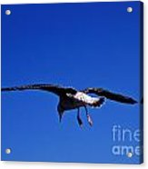 Seagull In Flight Acrylic Print by John Greim