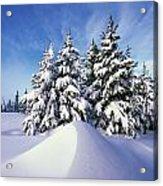 Snow-covered Pine Trees Acrylic Print by Natural Selection Craig Tuttle