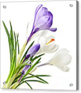 Spring Crocus Flowers Acrylic Print by Elena Elisseeva