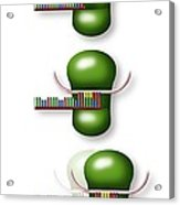 Telomere And Telomerase, Artwork Acrylic Print by Art For Science