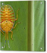 Tessaratomid Nymph Papua New Guinea Acrylic Print by Piotr Naskrecki