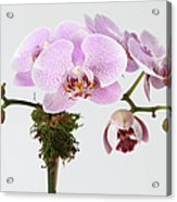 The Branch Of A Flowering Orchid Acrylic Print by Nicholas Eveleigh