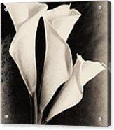 Three Calla Lilies Acrylic Print by Lisa  Spencer