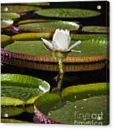 Water Lily Acrylic Print by Johan Larson