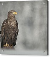 White-tailed Eagle Acrylic Print by Andy Astbury