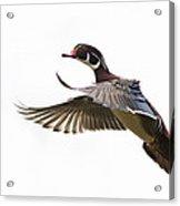 Wood Duck Acrylic Print by Mircea Costina Photography