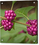 1109-6879 American Beautyberry Or French Mulberry Acrylic Print by Randy Forrester