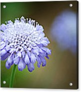 1205-8794 Butterfly Blue Pincushion Flower Acrylic Print by Randy Forrester