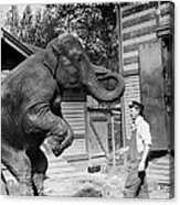 Bill Snyder, Elephant Trainer Acrylic Print by Everett