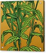 Centaurea Montana, Bachelors Button Acrylic Print by Science Source