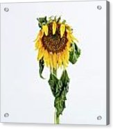 Close Up Of Sunflower. Acrylic Print by Bernard Jaubert